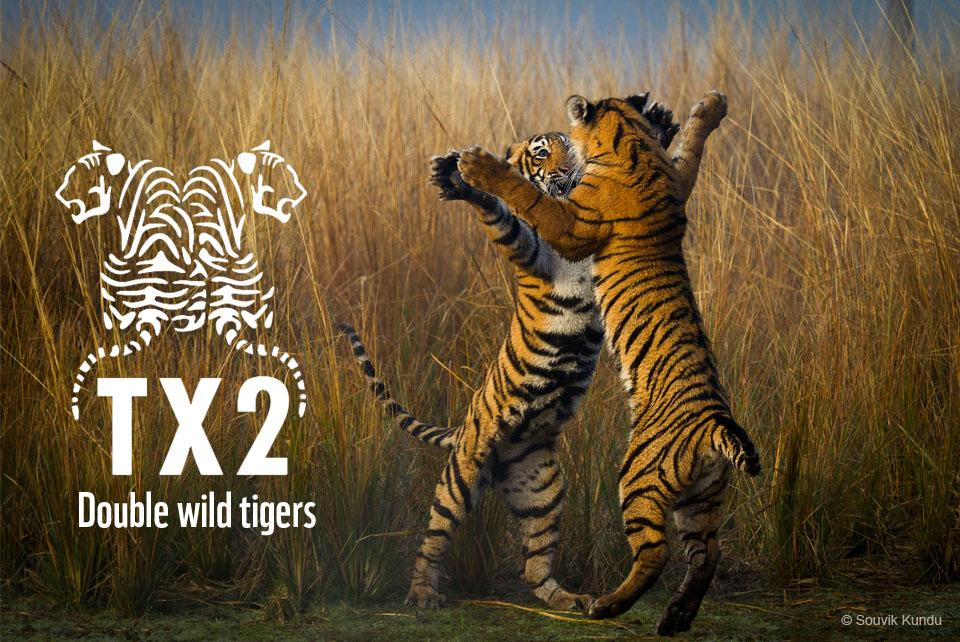 Help me in doubling the number of wild tigers by 2022 the next Chinese year of the tiger