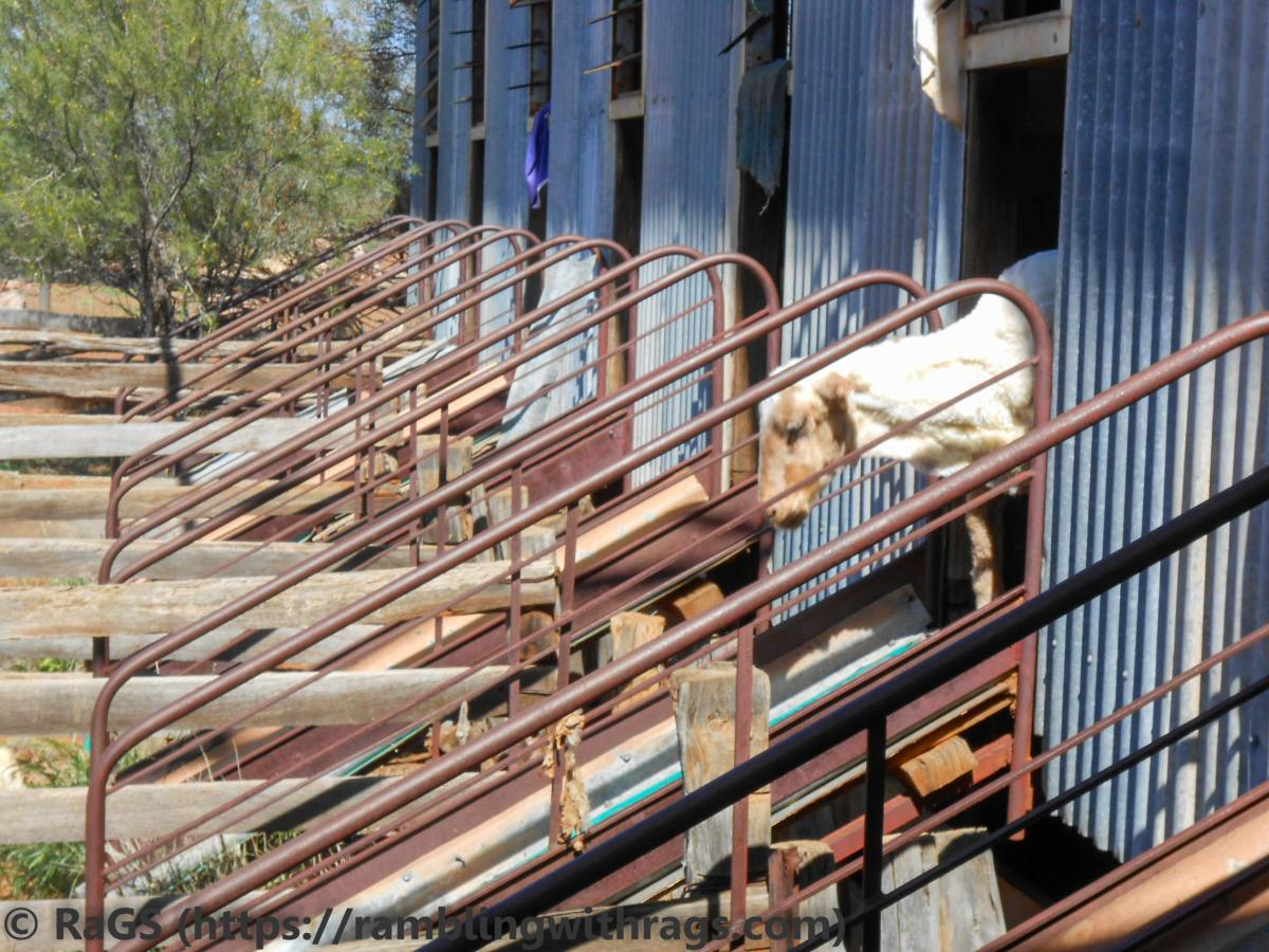 woolsheds and sheep